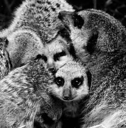 meerkat by Ashstorm