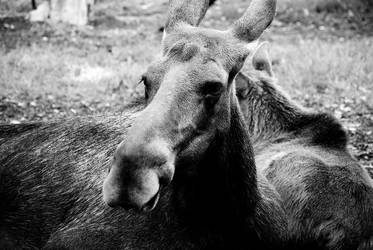 Moose by Ashstorm