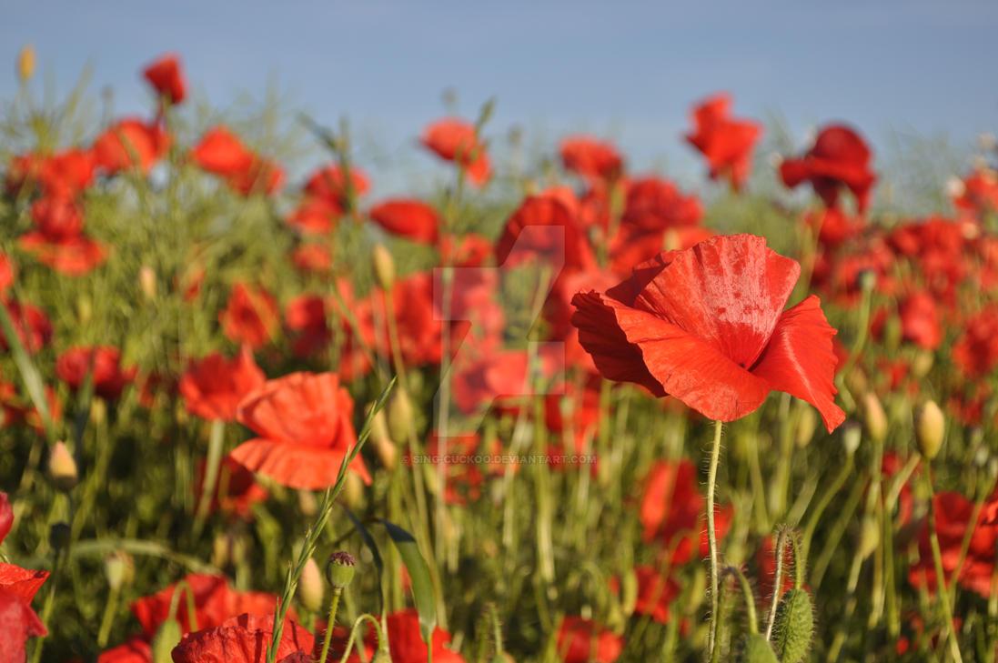 Poppy field by sing-cuckoo
