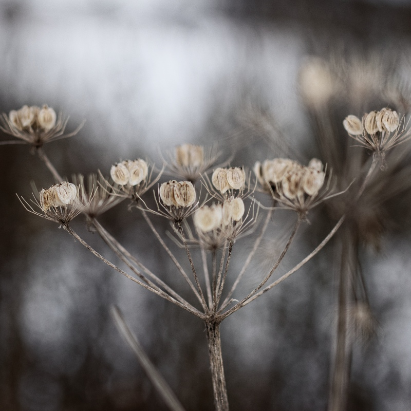 Daucus by UniHydra