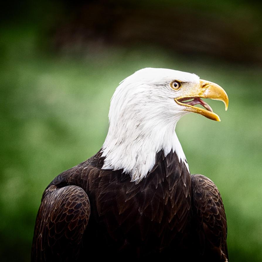 bald eagle by UniHydra