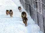 wolves front attack
