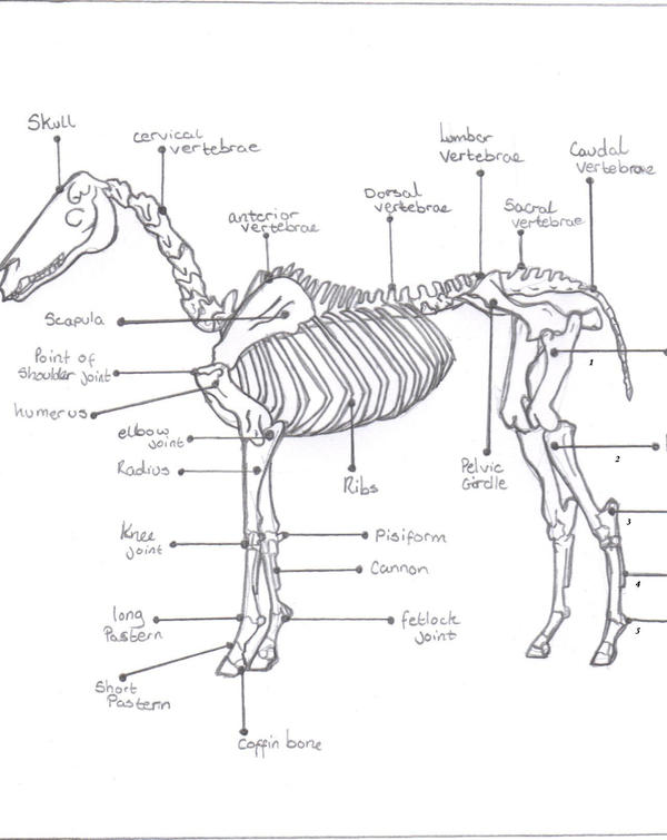 Skeleton structure of a horse by originalsoundtrack on DeviantArt