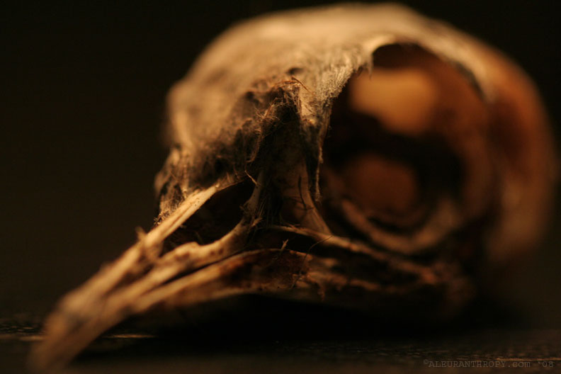 Bird Skull 02 by Aleuranthropy