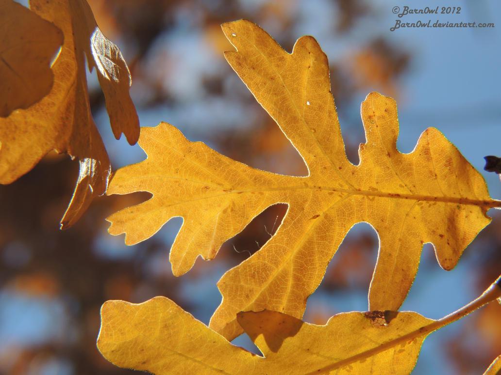 Autumn Oak Leaf 1 by Barn0wl