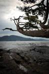 .anacortes tree. by elementalunacy