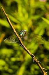 .dragonfly. by elementalunacy