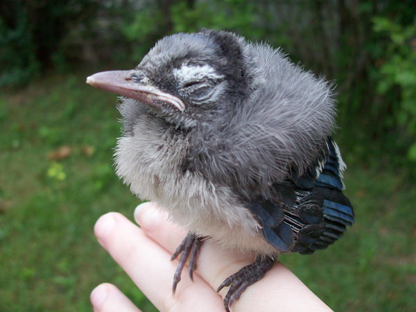 Baby Bluejay In ma HAND by Autobot-Windracer on DeviantArt