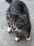 Bootsie the cat by wildstar27