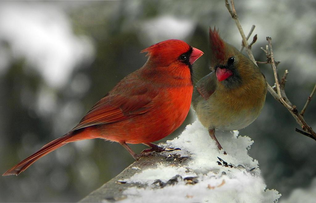 Cardinal Lou-in-canada-modified by Artemiche