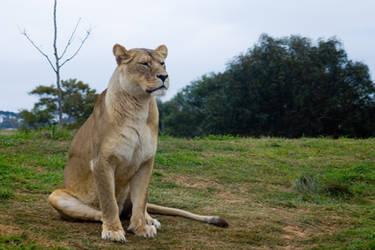 Lion 002 by rensstocknstuff