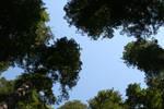 Redwood Tree Tops