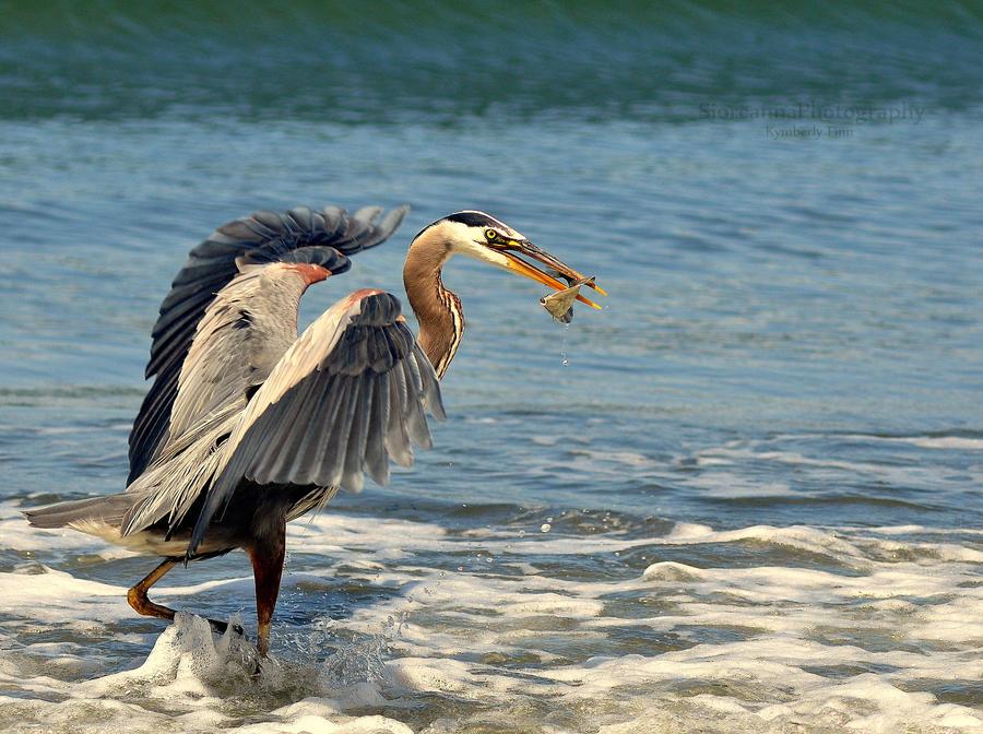 Great Blue Heron II by xsiorcanna
