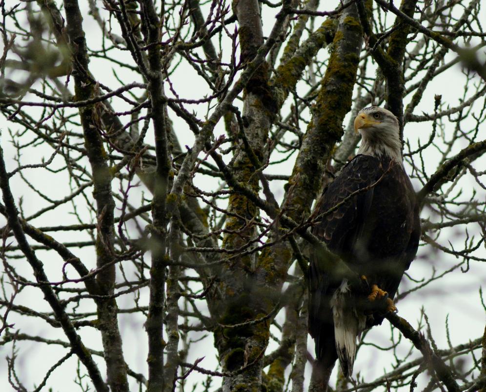 Bald Eagle by xsiorcanna