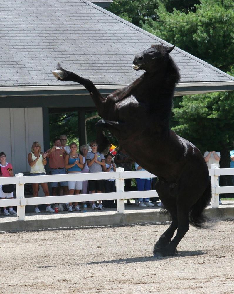 Friesian horse bucking
