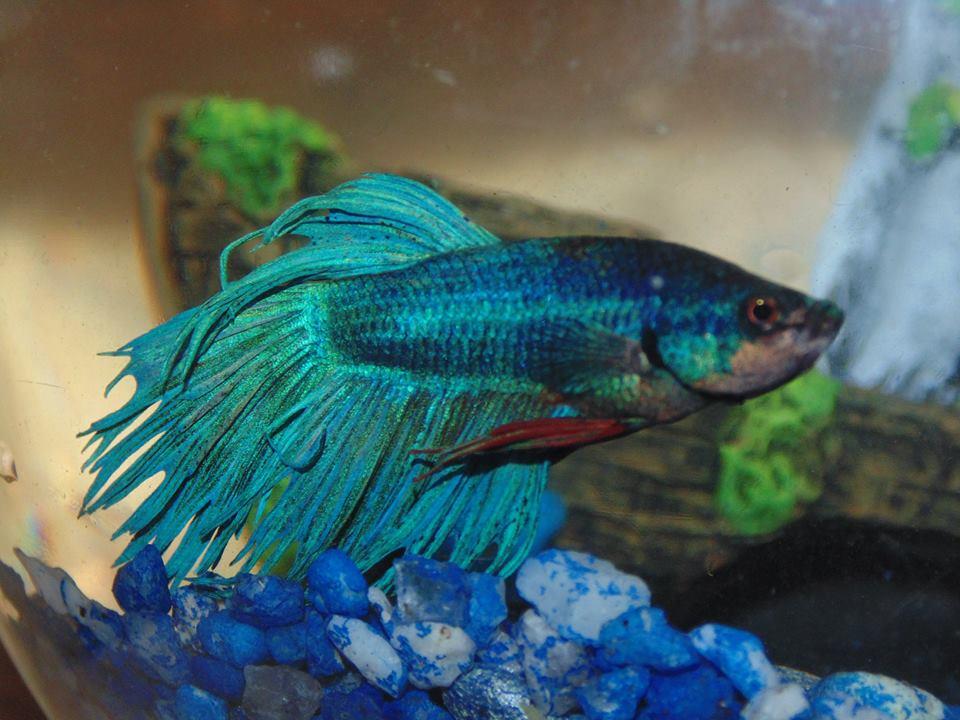 Betta fish new pet by moonlight hour on deviantart for Betta fish friends