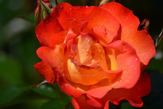 Acres Rose