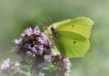 Le papillon ...... by DavidMnr