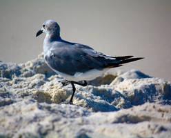 Lone Gull by flocksofseagulls