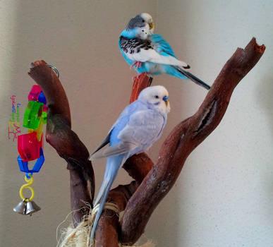Pair O' Parakeets