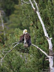 Bald Eagle by CanenArt