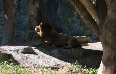 059 Lion in the Shadow by tawunap159