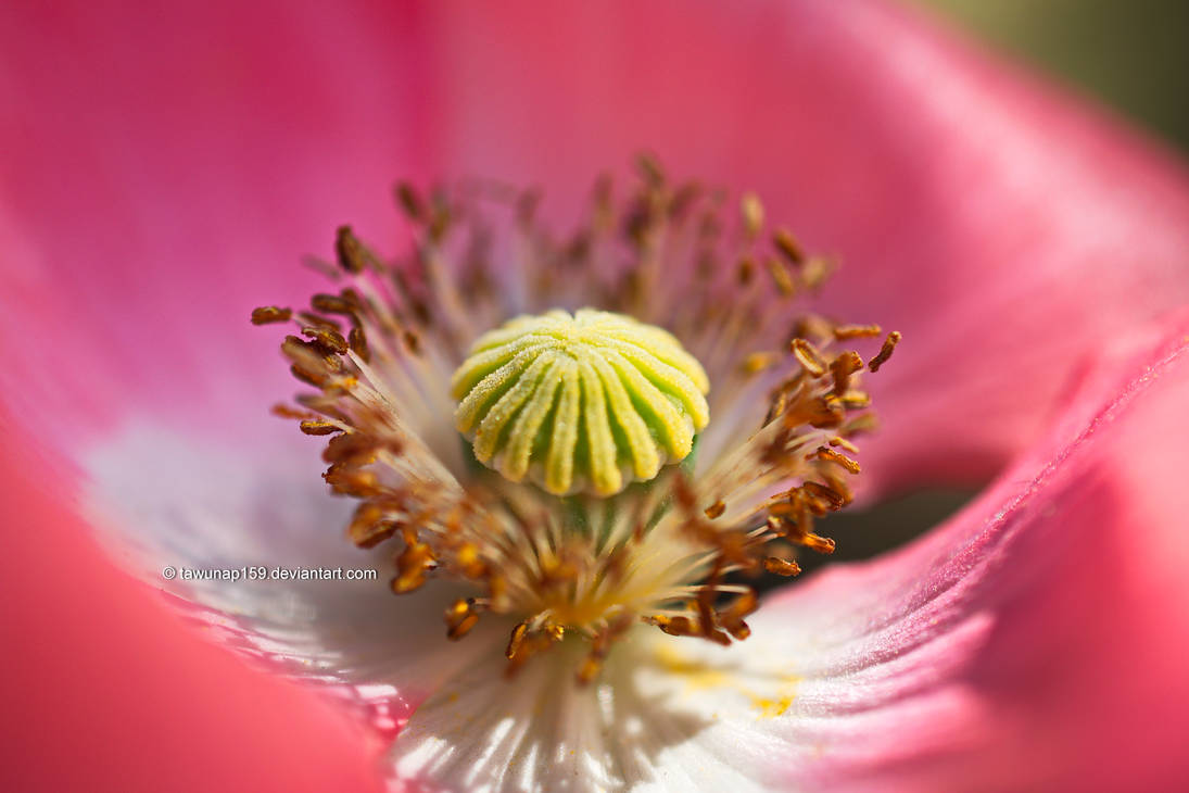 Poppy Flower by tawunap159