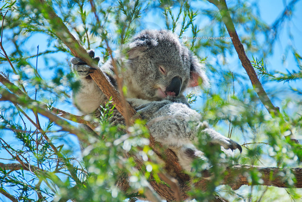 Sleeping Koala by tawunap159