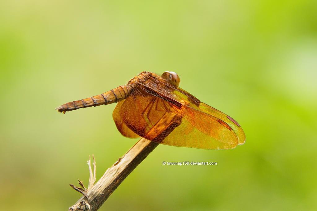 Dragonfly by tawunap159