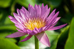 Purple Water Lily by tawunap159