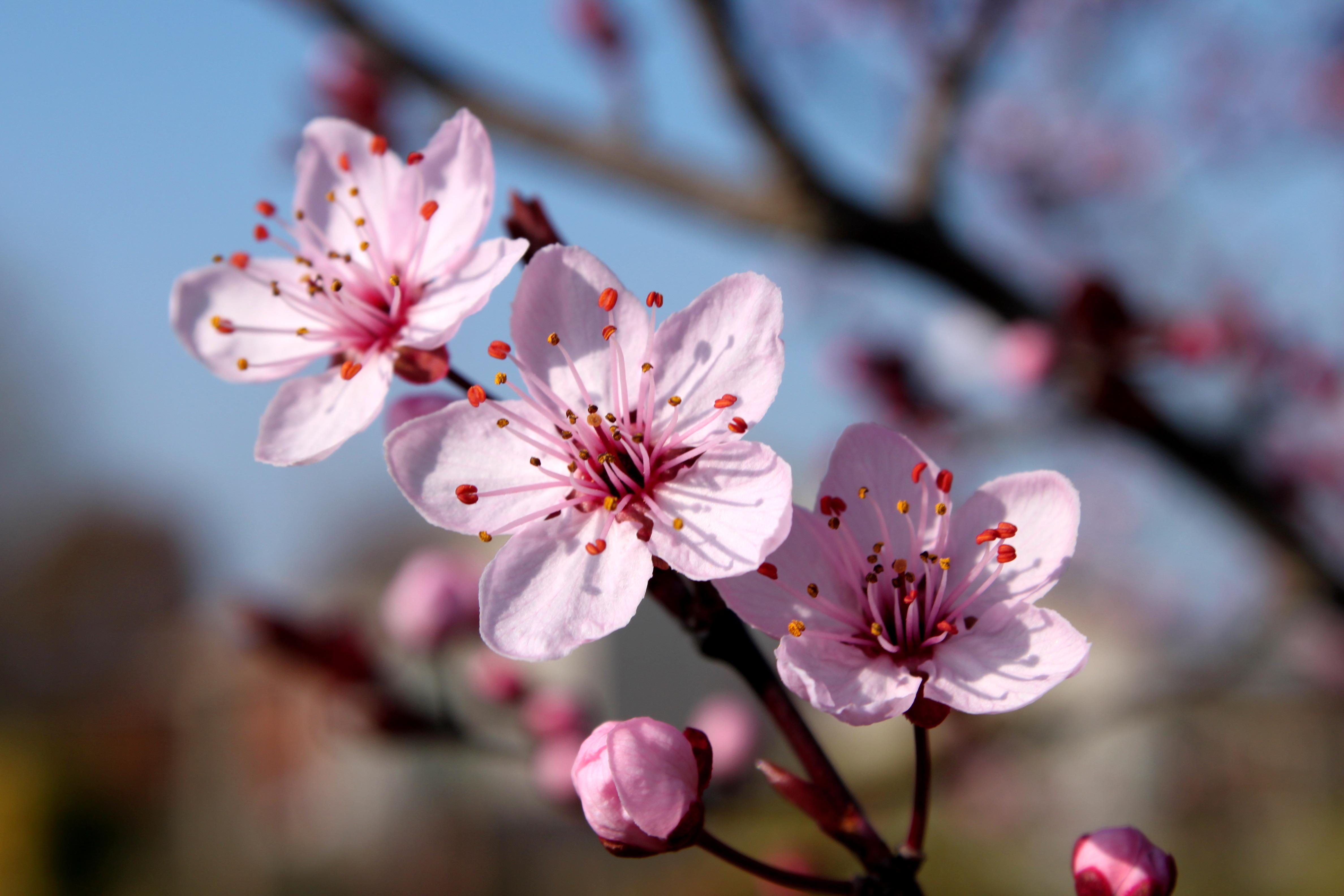 Cherry Blossom 2 by RickyGW on DeviantArt