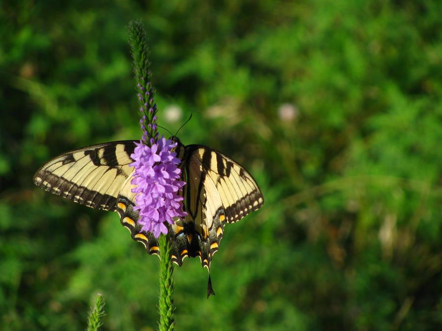 Swallowtail by shaylamom