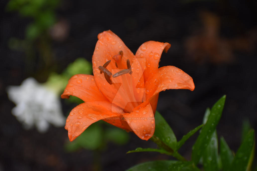 Lily After Rain by Wolfgirl1105