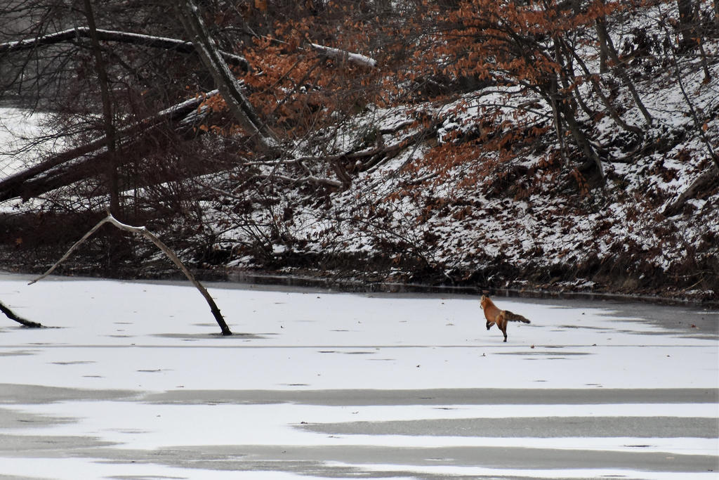 Fox on the Lake by Wolfgirl1105