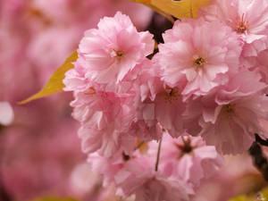 Sakura 2nd