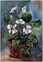 white pelargonium by kosharik69