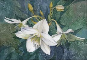 Euharis - flower brides by kosharik69