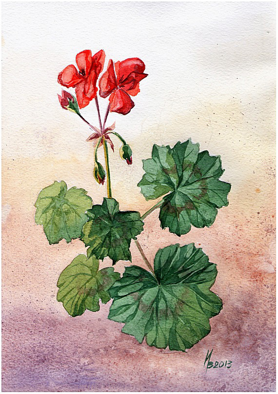 The first flowers of red pelargonium by kosharik69