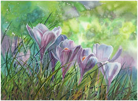 blooming crocuses by kosharik69