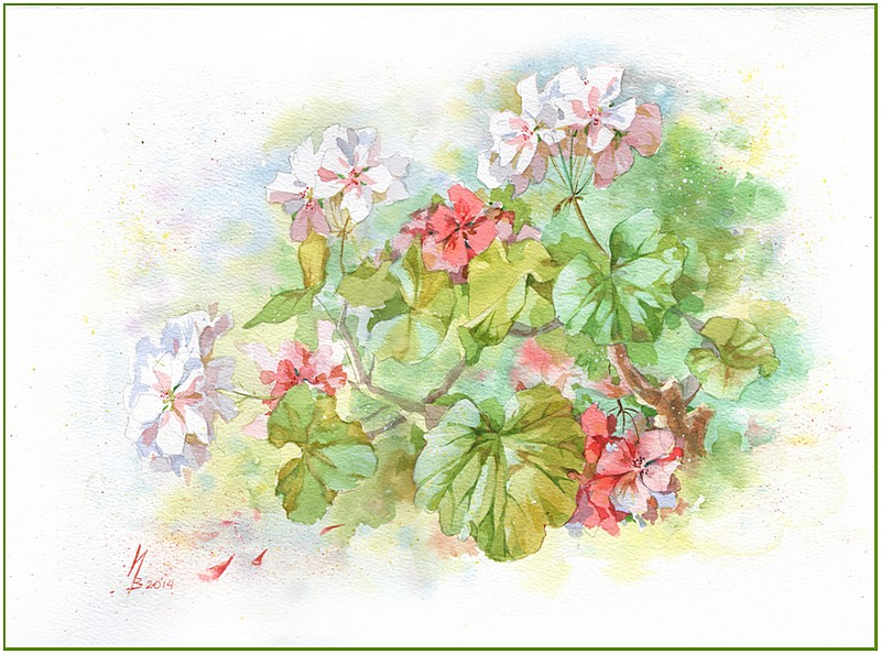 summer pelargonium by kosharik69