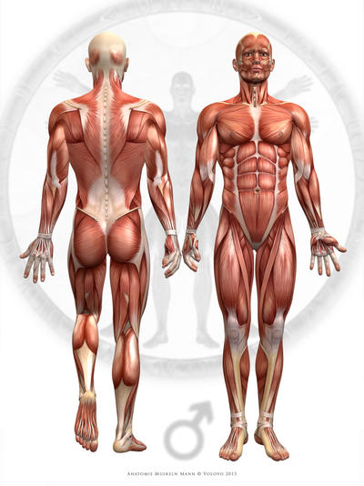 Anatomy Muscles Male by Volovo on DeviantArt