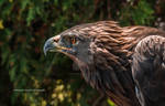 Eye Piercing Golden Eagle