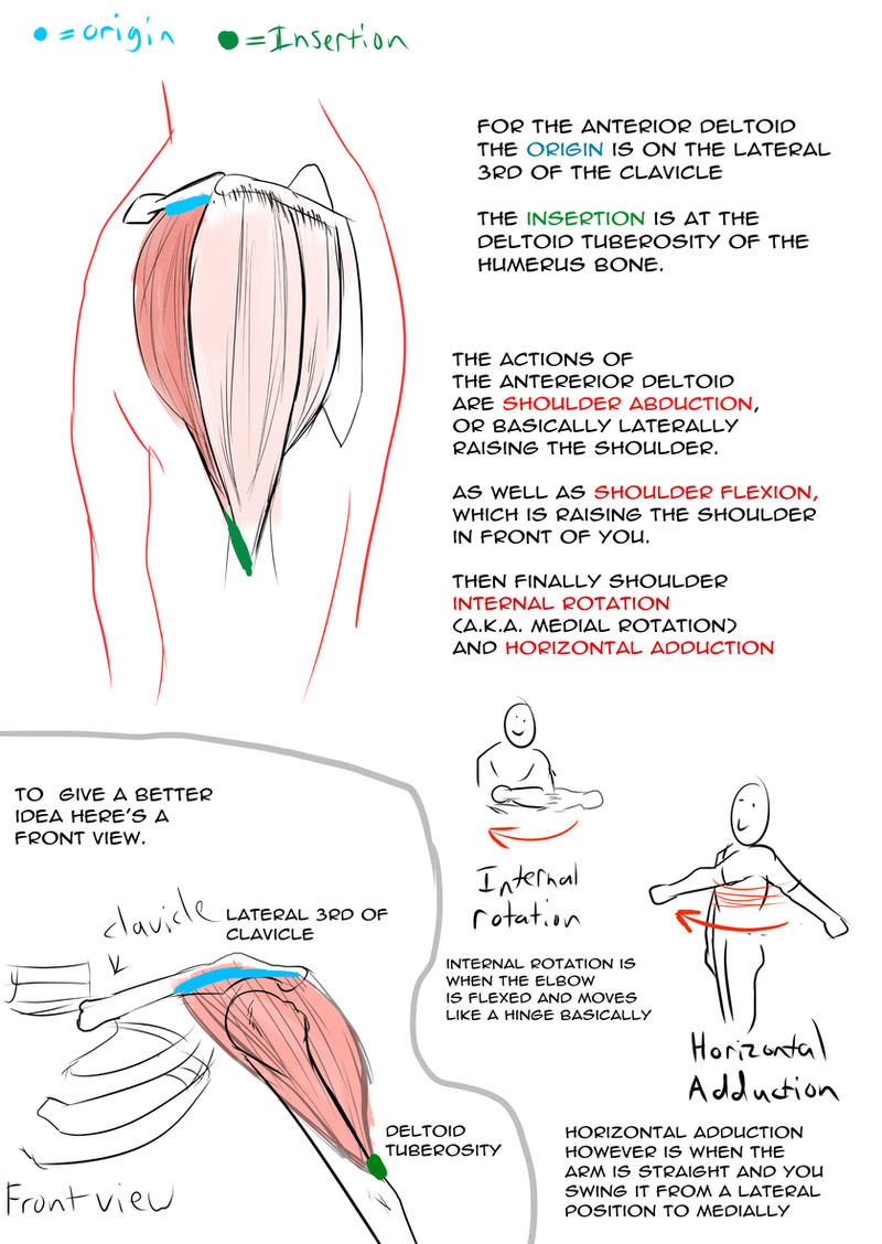 8. Anterior Deltoid by JosiahsComic on DeviantArt