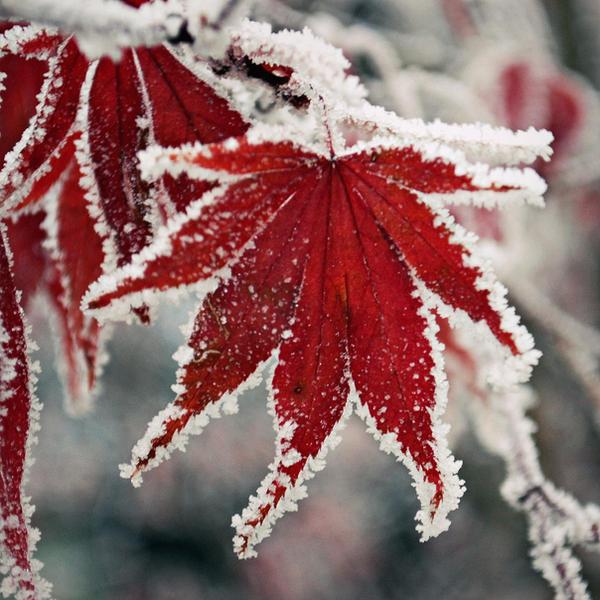 Frozen Maple by hakukamizaki