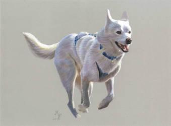 Racing Siberian Husky by Indian-Tribe