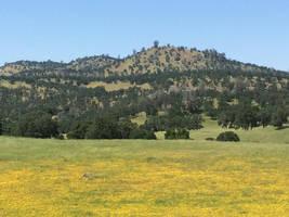 Golden Hills of spring