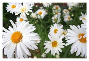 Daisy Garden by Squeakerz