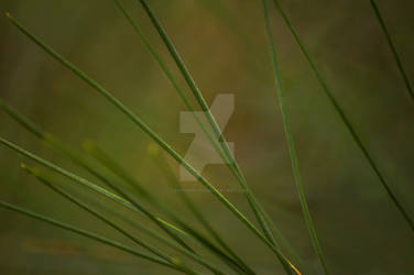 Long Pine Needles