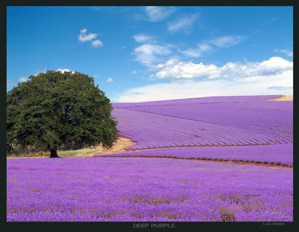 Deep Purple Lavender by gearbox