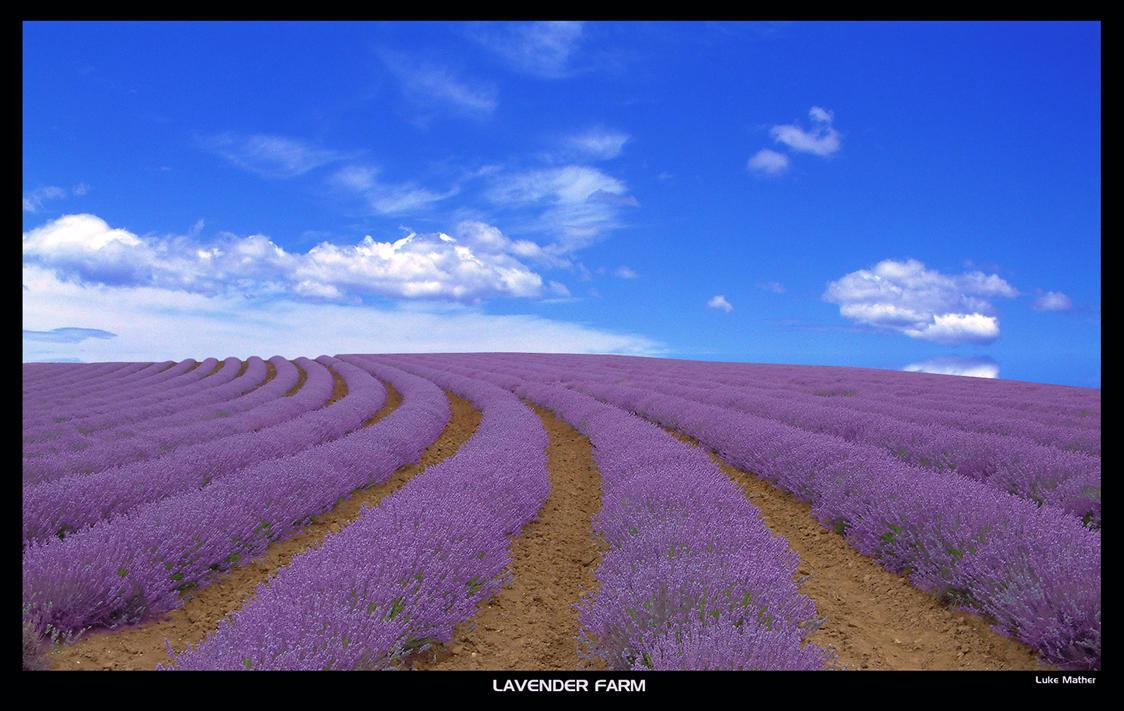 Lavender Farm Tasmania by gearbox